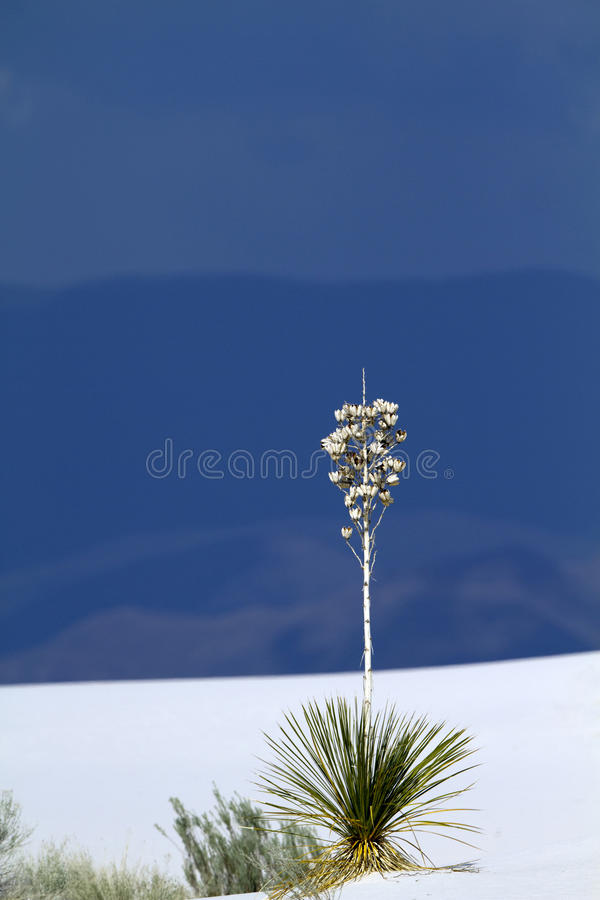 Download Soaptree Yucca, The Iconic Plant At White Sands Stock Photo - Image: 14556996
