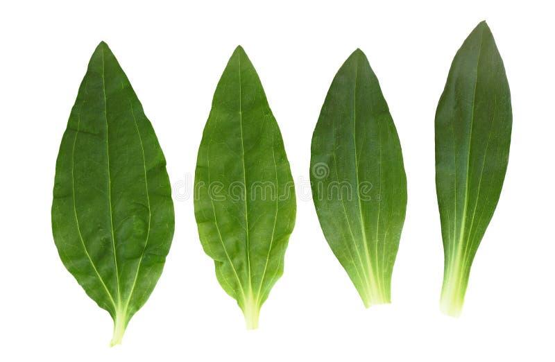 Soapwort en Dianthus-Blad stock afbeelding