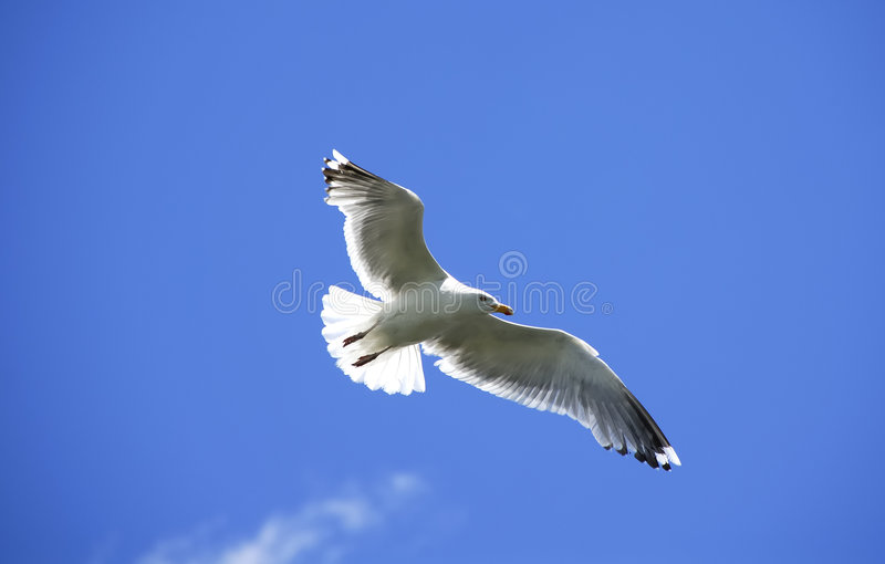 Download Soaring stock photo. Image of nature, glide, coast, animal - 858096