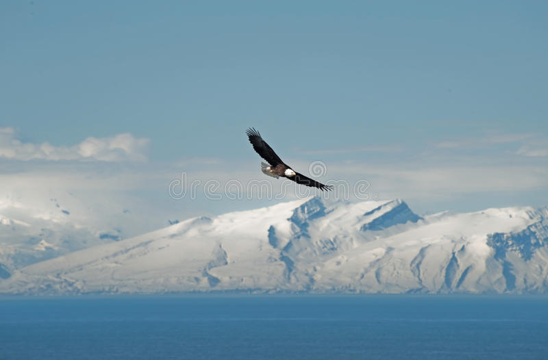 Soaring Bald Eagle stock image