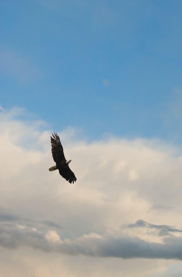 Download Soaring bald eagle stock photo. Image of flying, regal - 5518102