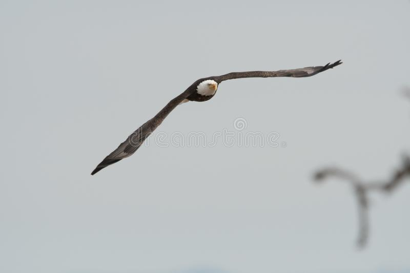 Soaring bald eagle with wings spread in a light gray sky stock photo