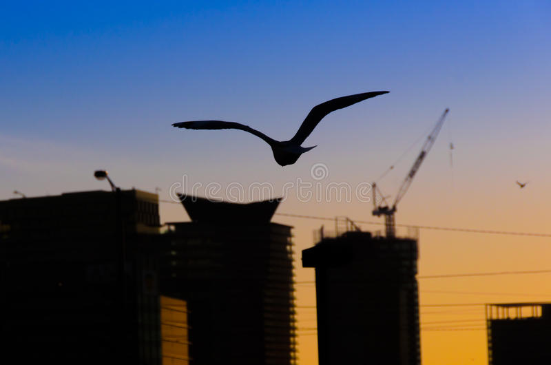 Soaring Bird Against Sunset. Silhouette of a bird flying over buildings stock image