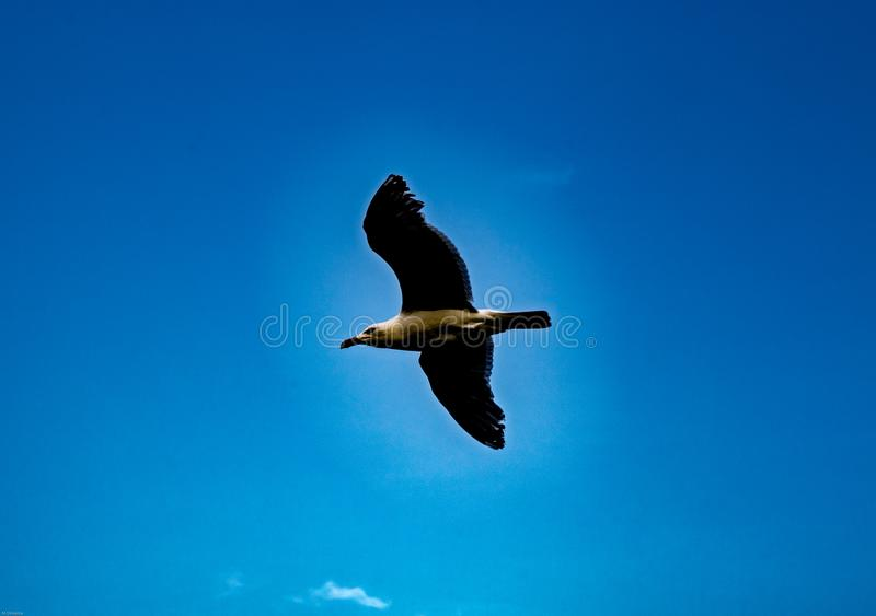 Soaring bird as seen in the blue sky of Cape Cod Massachusetts USA. Could be useful for background or sending message stock images