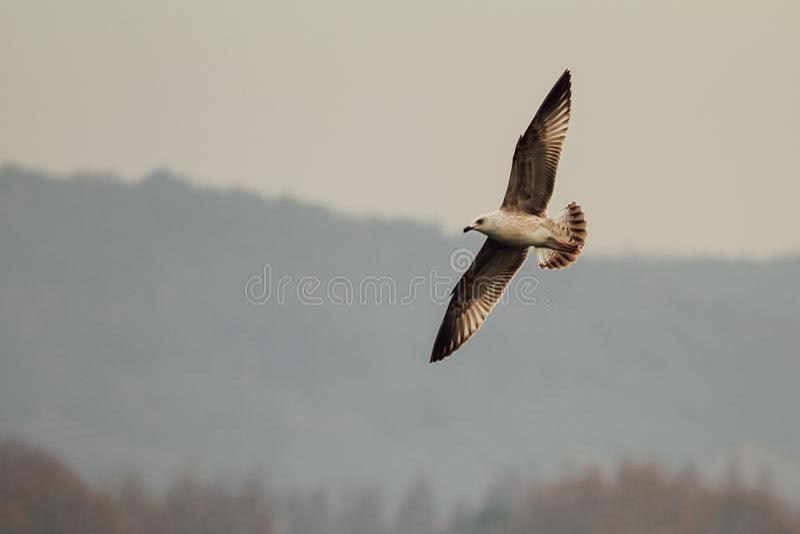 Soaring bird stock images