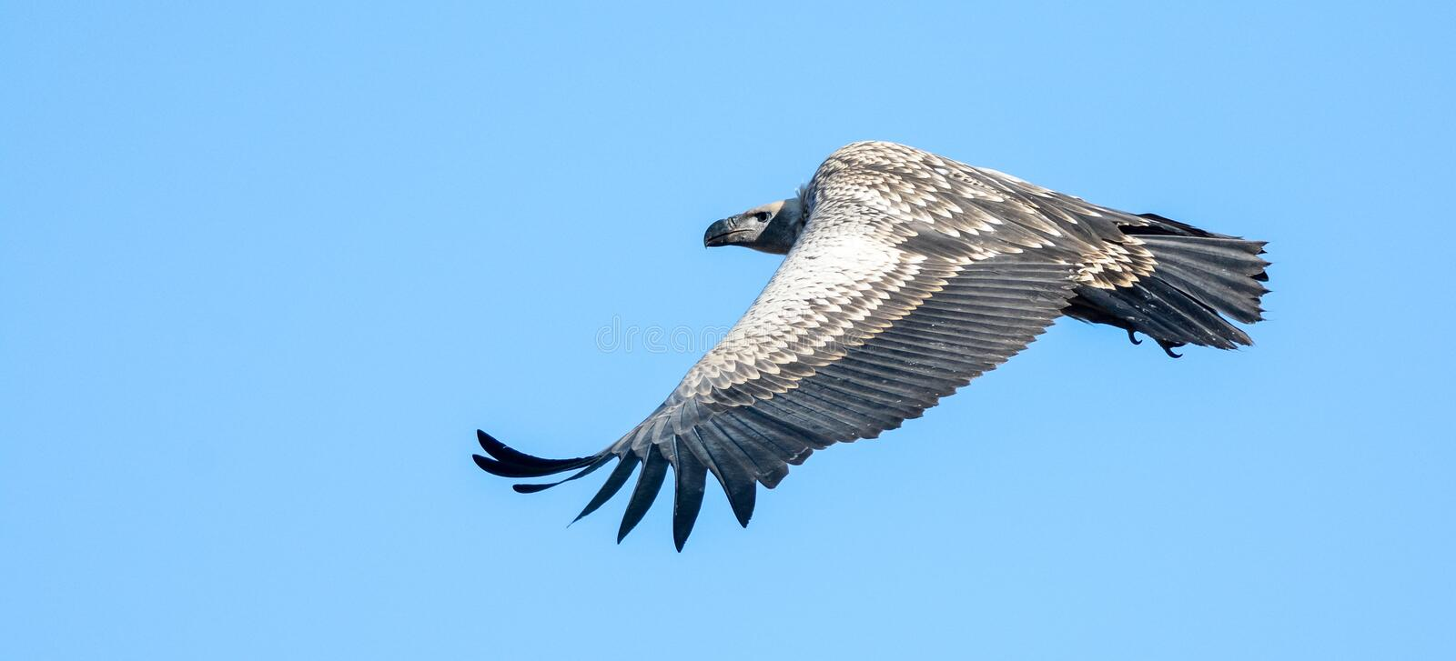 Soaring Cape Vulture stock images