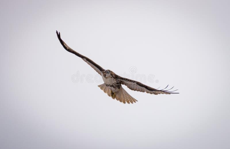 soaring för hök royaltyfri fotografi
