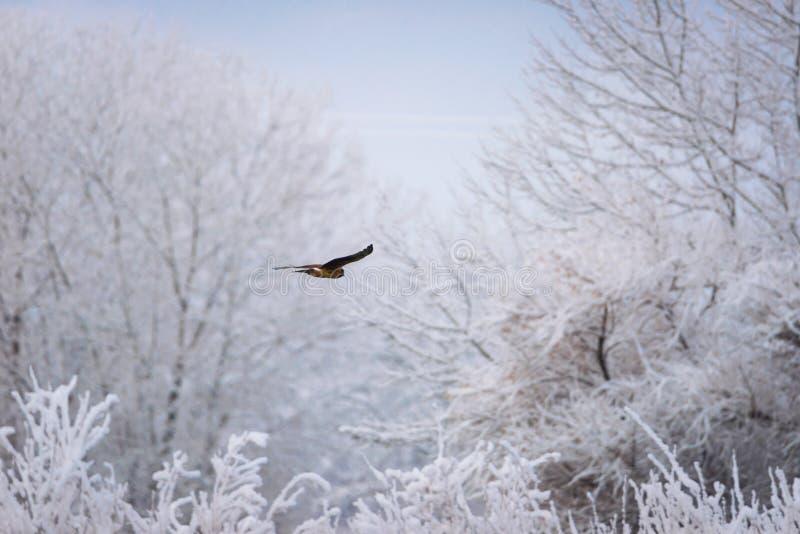 soaring för hök fotografering för bildbyråer