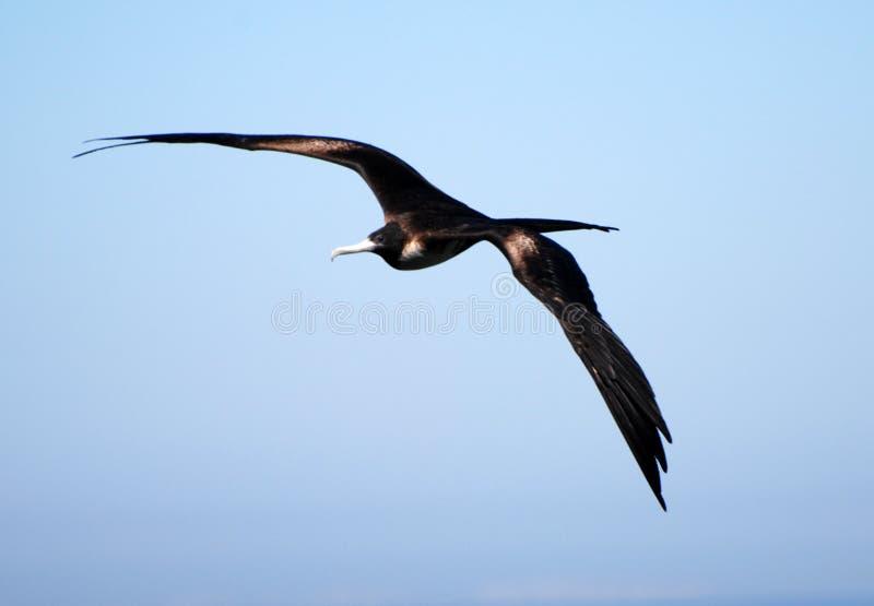 Soaring frigatebird stock photography
