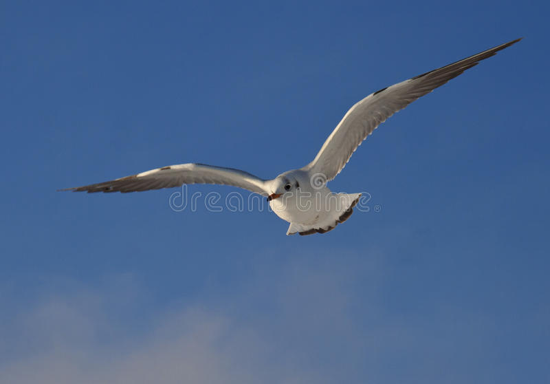 Download Soaring gull stock image. Image of soaring, seagull, feather - 24207677