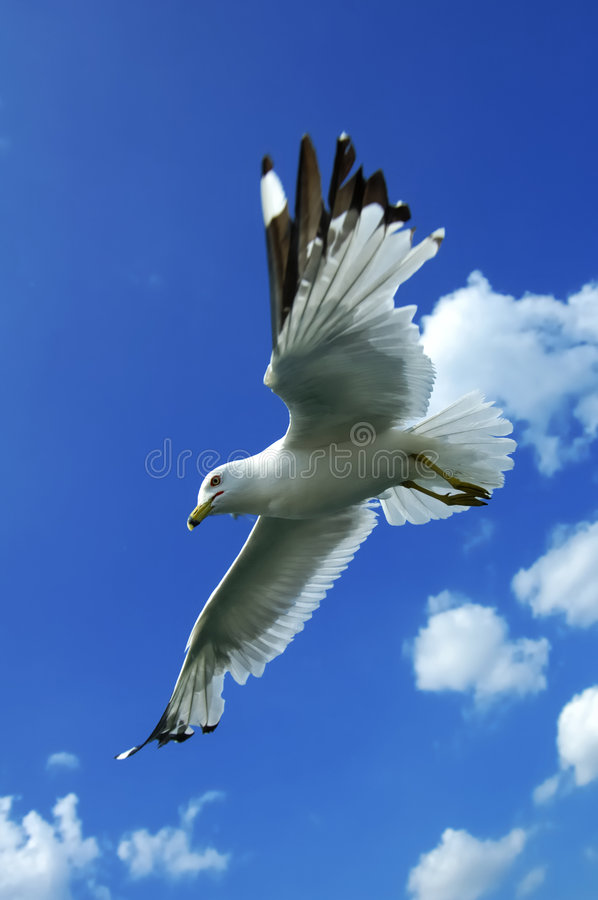Soaring Gull royalty free stock images