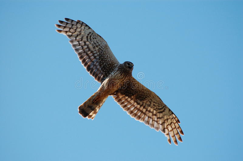Download Soaring hawk stock image. Image of feathers, raptor, wings - 10233325
