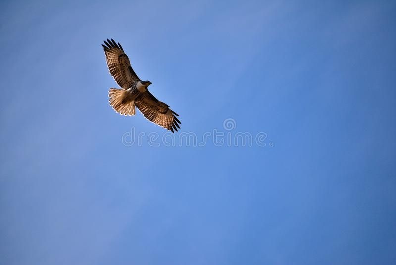 Soaring Hawk against a Blue Sky stock image