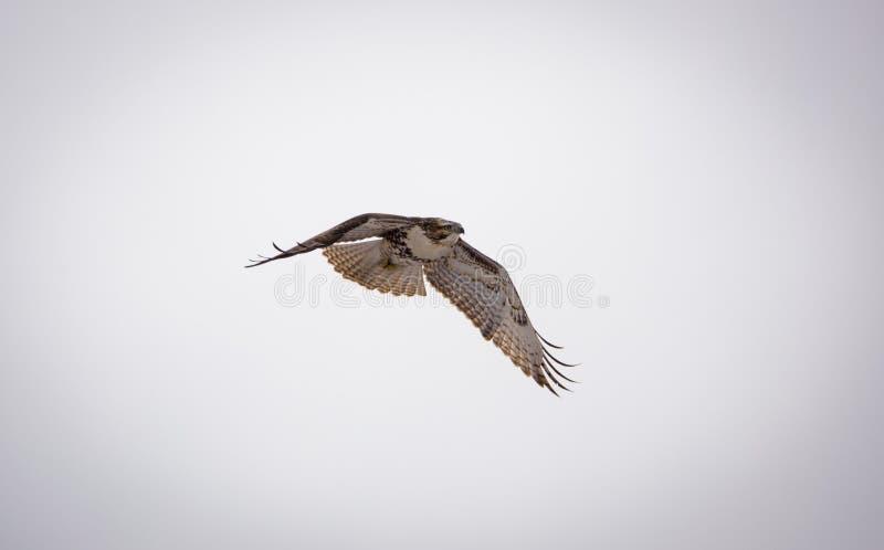Soaring Hawk royalty free stock photo