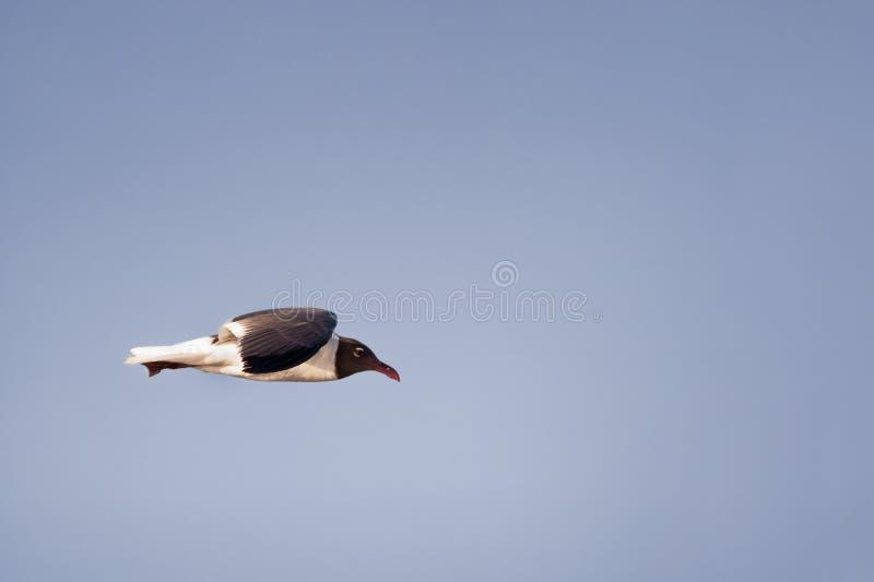 Soaring laughing gull stock photo