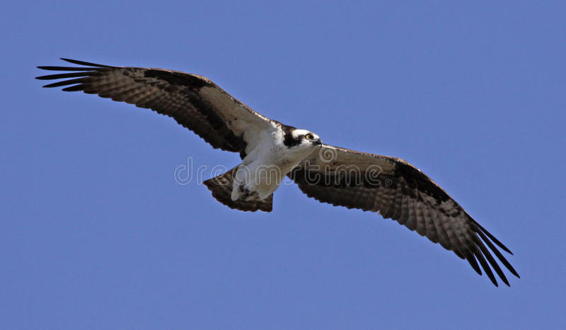 Download Soaring Osprey stock photo. Image of pandion, blue, fish - 24986024