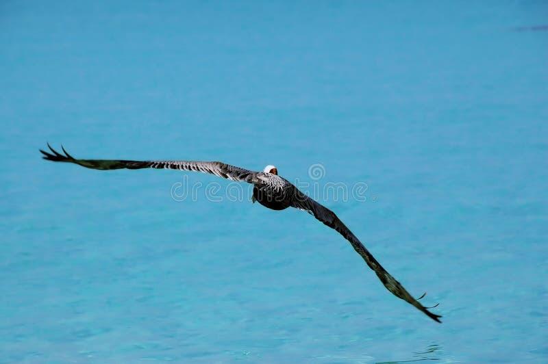 Soaring Pelican stock photography