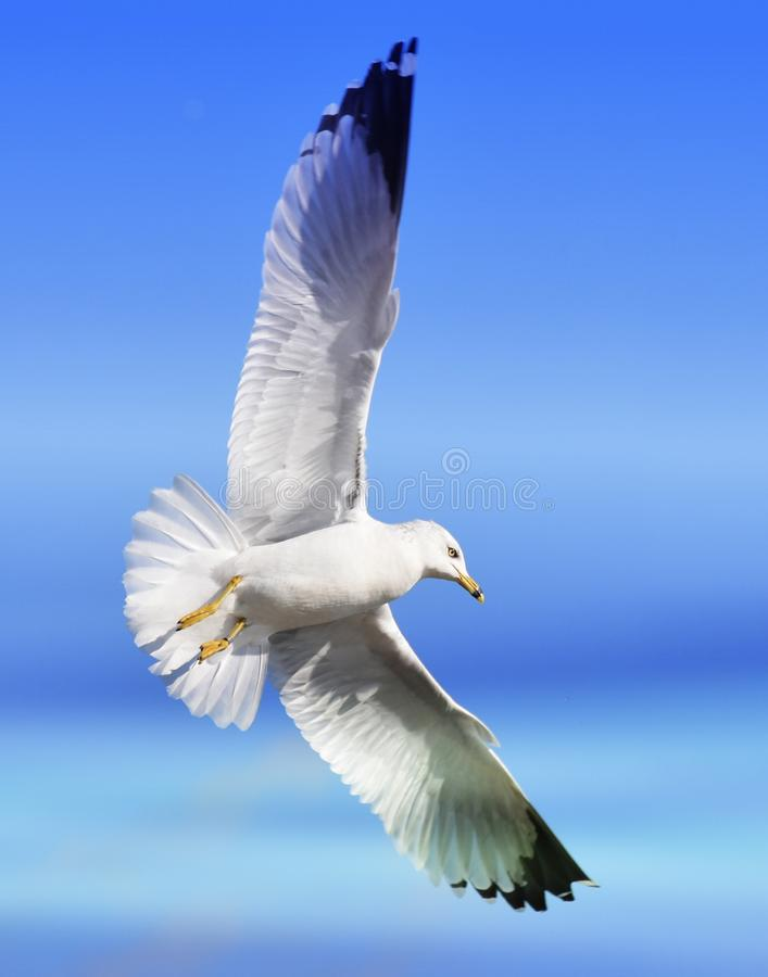 Soaring Sea Gull goes Vertical stock photo