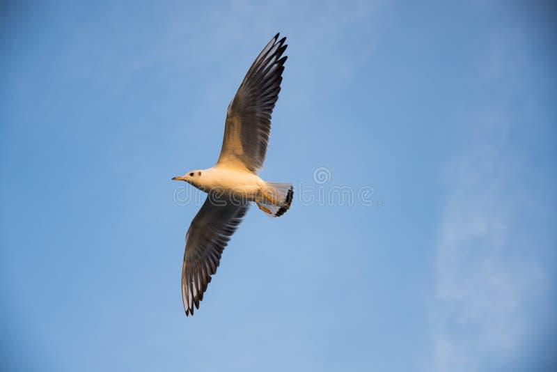 Soaring sea gull stock image