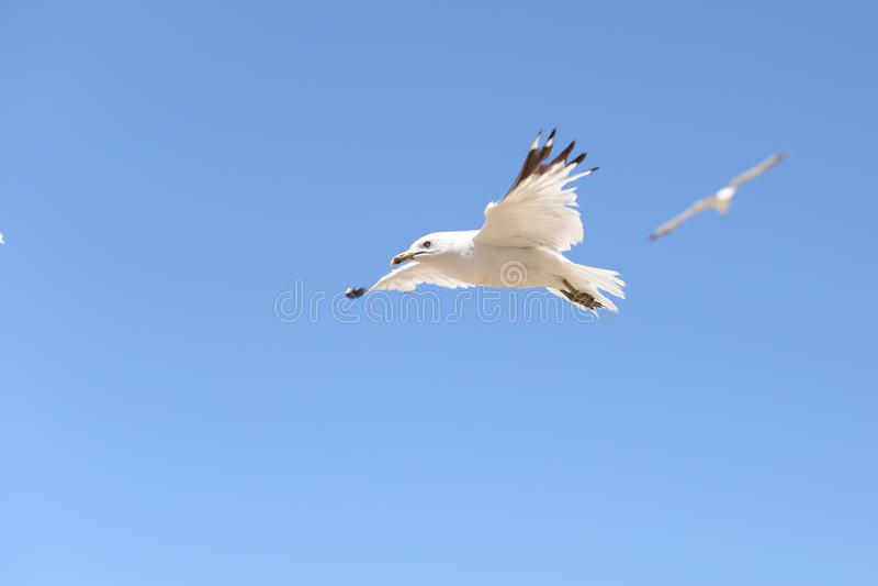 Soaring See Gull stock image