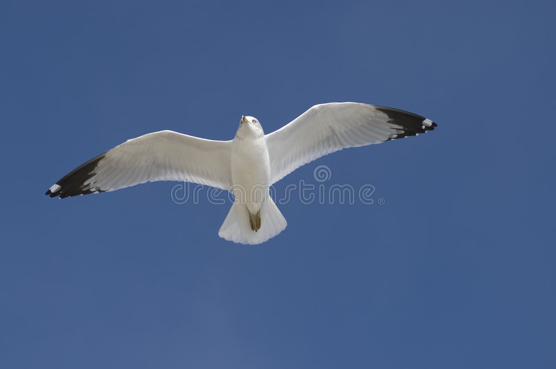 Download Soaring Seagull Royalty Free Stock Photos - Image: 1701518
