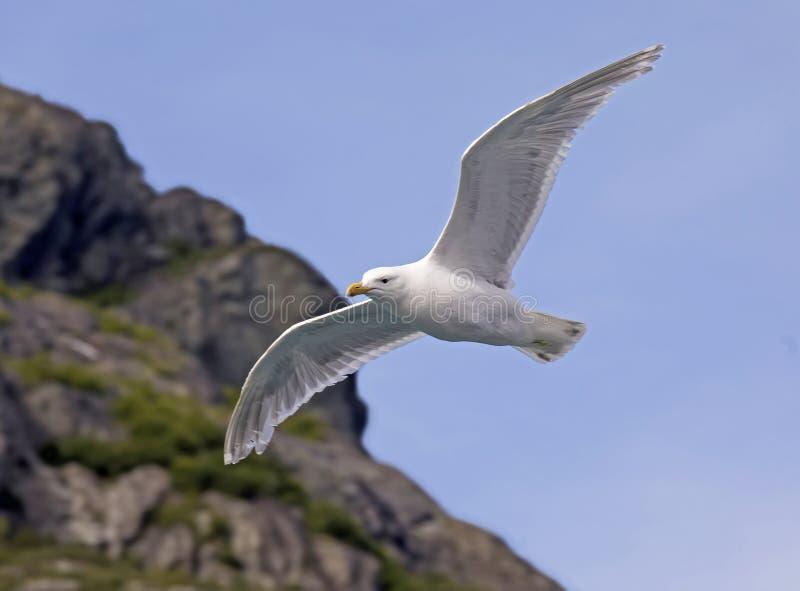 Soaring Seagull over Glacier Bay, Alaska stock images
