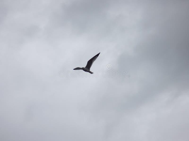 Soaring Seagull royalty free stock photo