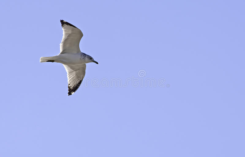 Download Soaring Sky för fiskmås fotografering för bildbyråer. Bild av sculpted - 27288223
