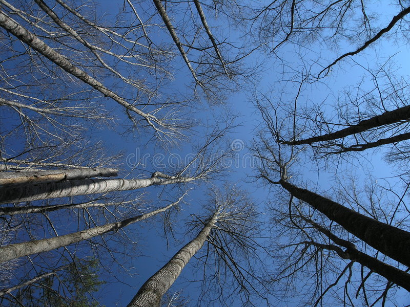 Download Soaring Trees stock image. Image of lonely, freedom, landscape - 1502651