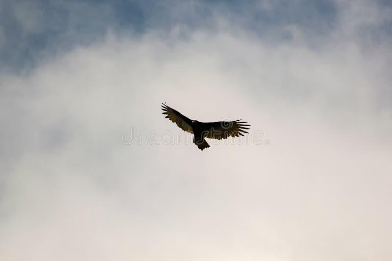 Soaring Turkey Vulture stock photos