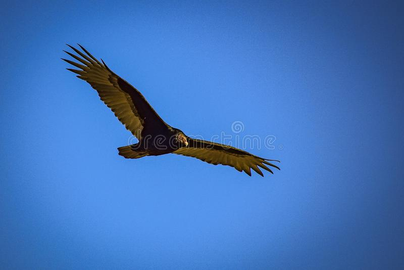 Soaring Turkey Vulture. This turkey vulture soared above Baylands Park in Palo Alto, California royalty free stock photos