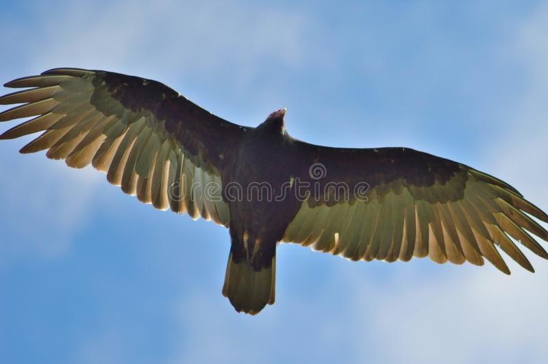 Soaring Vulture stock images