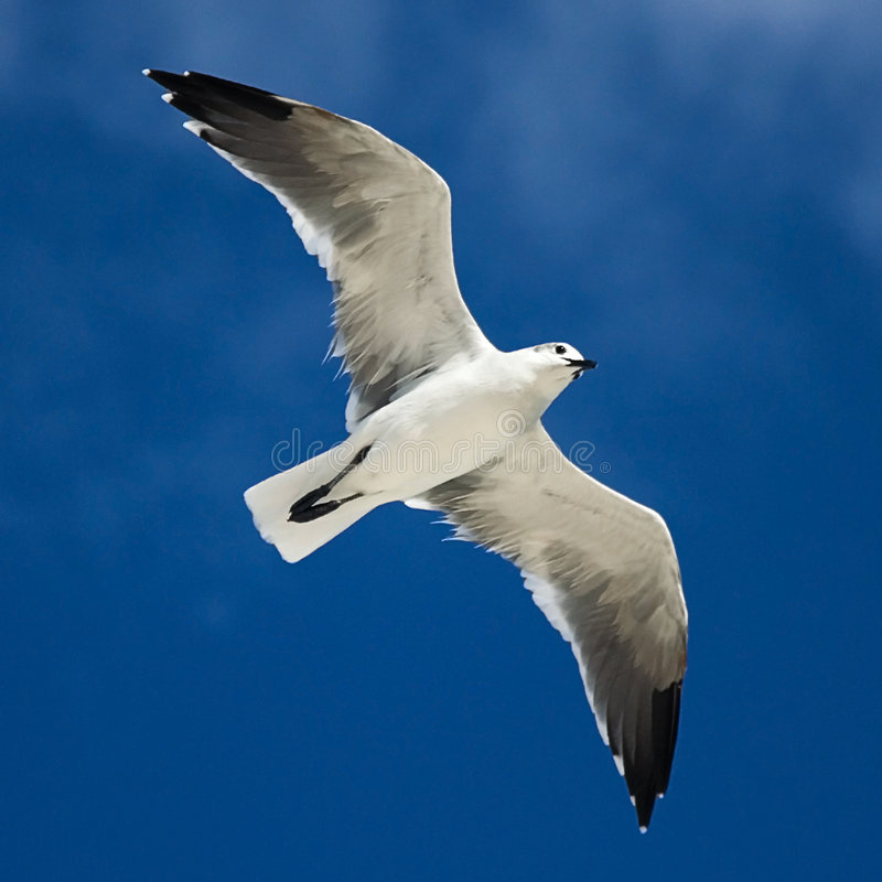soaringseagull royaltyfri bild