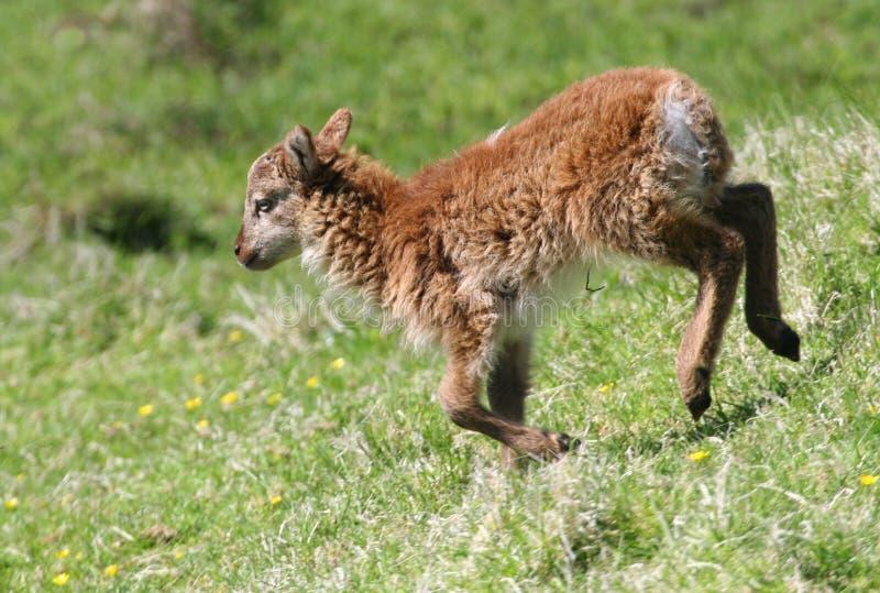 soay lamb royaltyfri fotografi