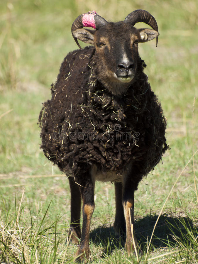 Download Soay Sheep stock photo. Image of animals, feral, baby - 24630280