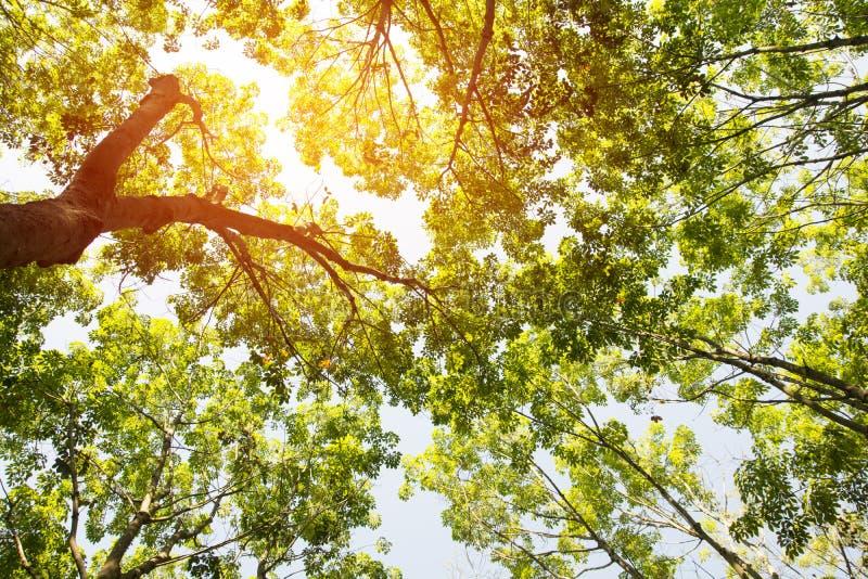 Sob a árvore da borracha fotografia de stock