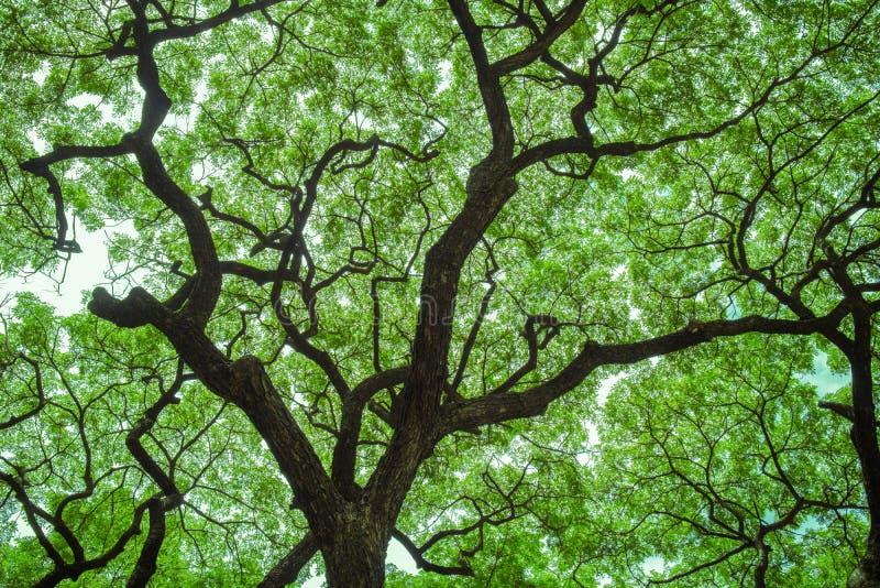 Sob a árvore grande com ramo amplie imagem de stock