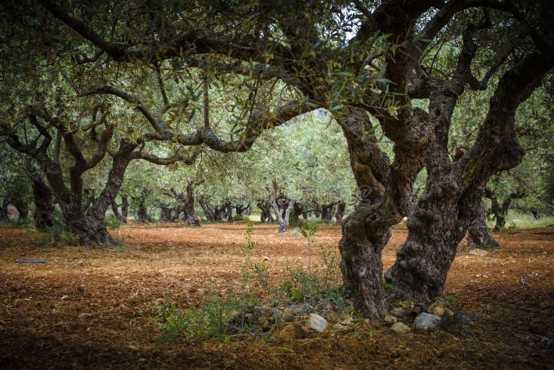 Sob a exploração agrícola de oliveiras fotos de stock
