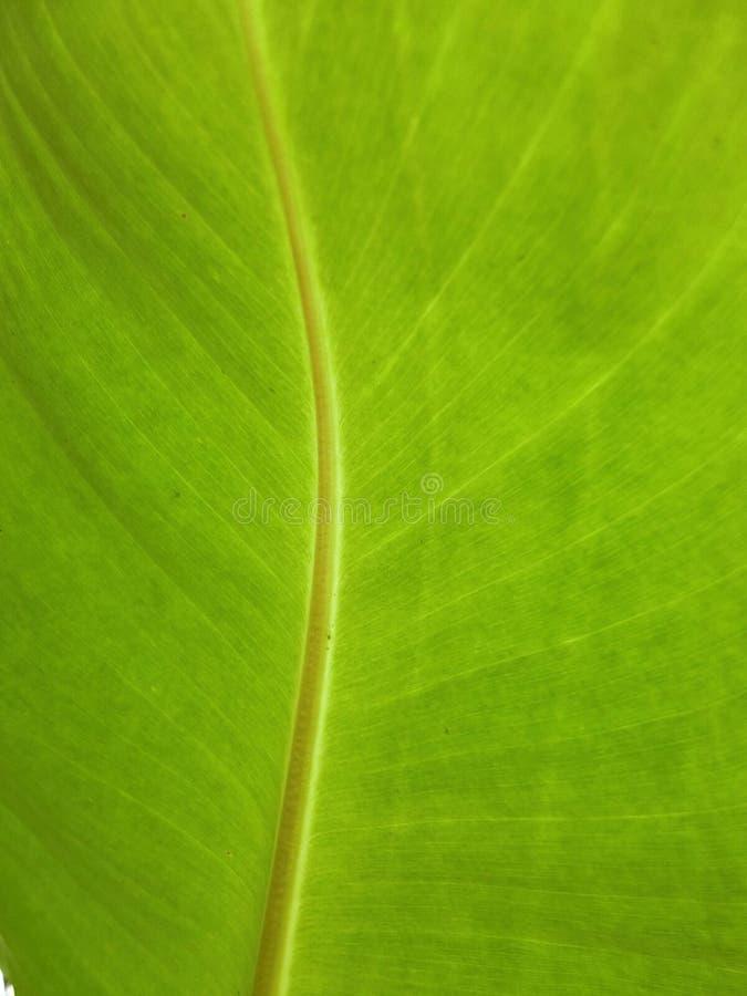 Sob a folha do verde da banana fotos de stock