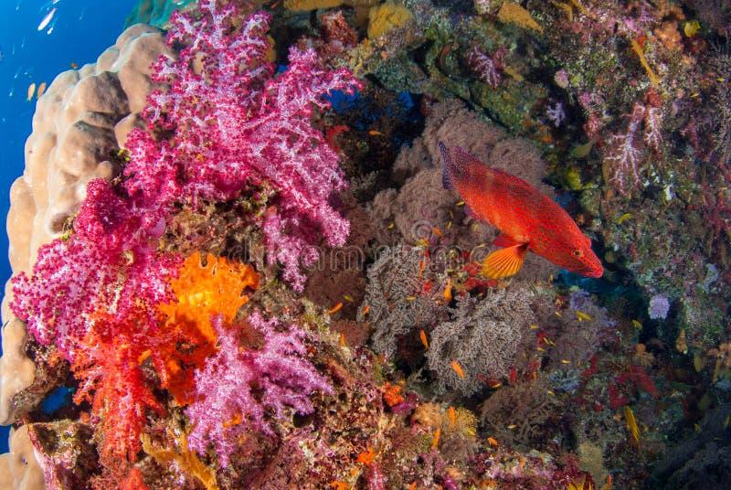 Sob os recifes de corais coloridos dos peixes do mar imagem de stock