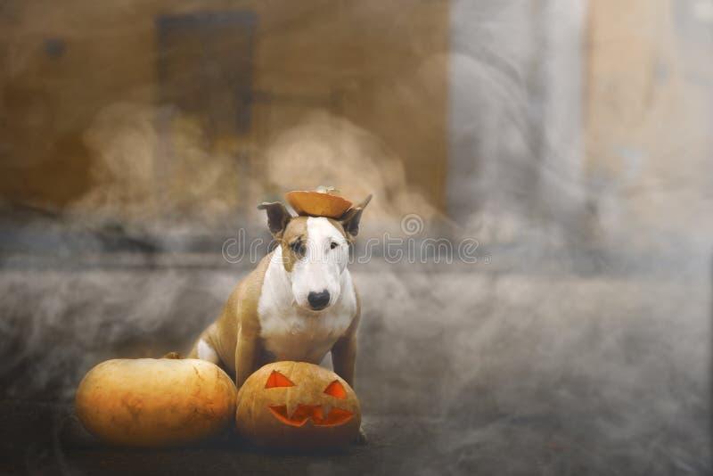 31/5000 Sobaka poziruyet s tykvoy v dymu A dog posing with a pumpkin in the smoke stock images