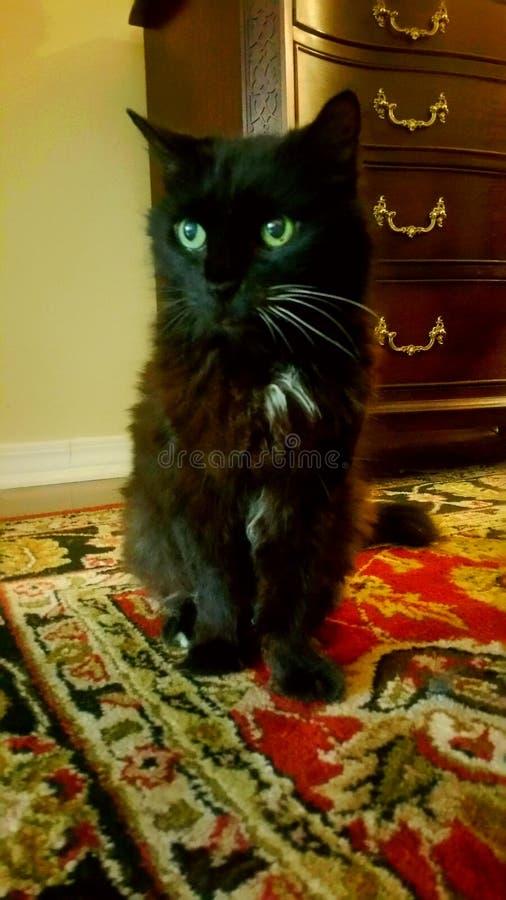 Sobel den söta svarta katten royaltyfri foto