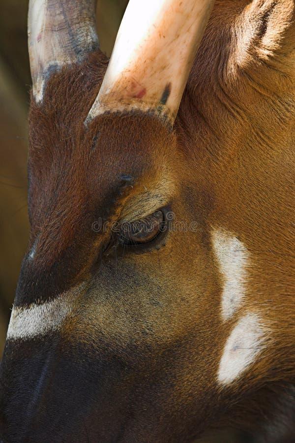sobel för antilophippotragusniger roosevelti arkivbilder