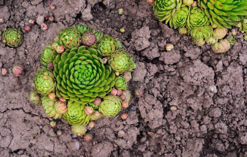 Soboliferum de Sempervivum succulent vert sur la terre, fond naturel photographie stock