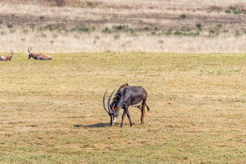 Sobolowej antylopy byk, Hippotragus Niger, pasa zdjęcia stock