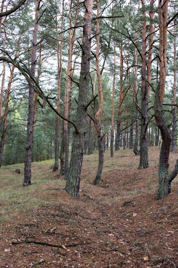 Sobras de linhas das trincheiras de Primeira Guerra Mundial na floresta da mola do pinho de Volyn Traços da guerra de trincheira  imagem de stock royalty free