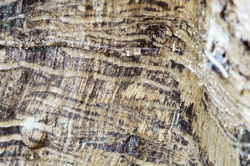 Sobras de um tronco de árvore velho sem árvore de casca comida pelos sem-fins de madeira fotografia de stock royalty free
