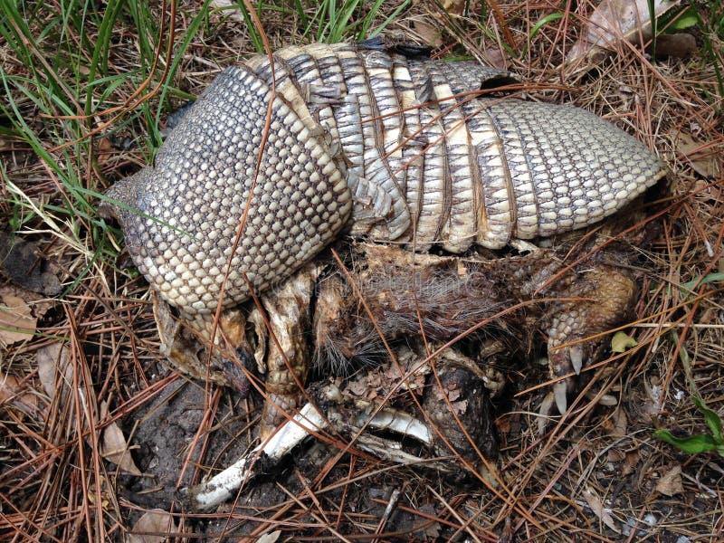 Sobras do tatu Nove-unido (Dasypus Novemcinctus) que encontra-se na terra fotografia de stock