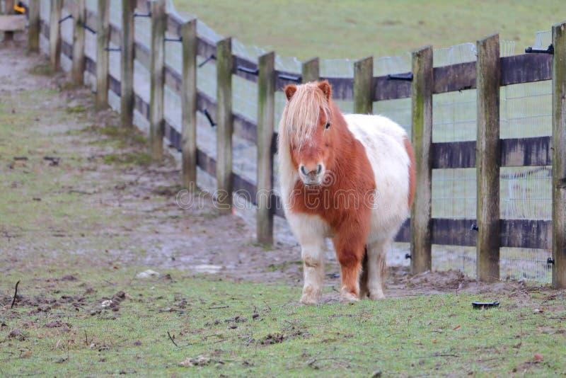 Sobre o pônei de Shetland do peso fotografia de stock royalty free
