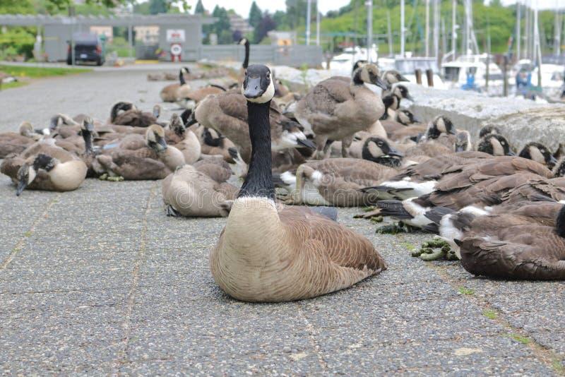 Sobre a população de gansos de Canadá na cidade imagens de stock royalty free